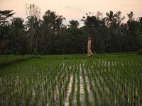 Индонезия/о. Бали/Удуд/Alaya Resort Ubud 4*/рисовое поле